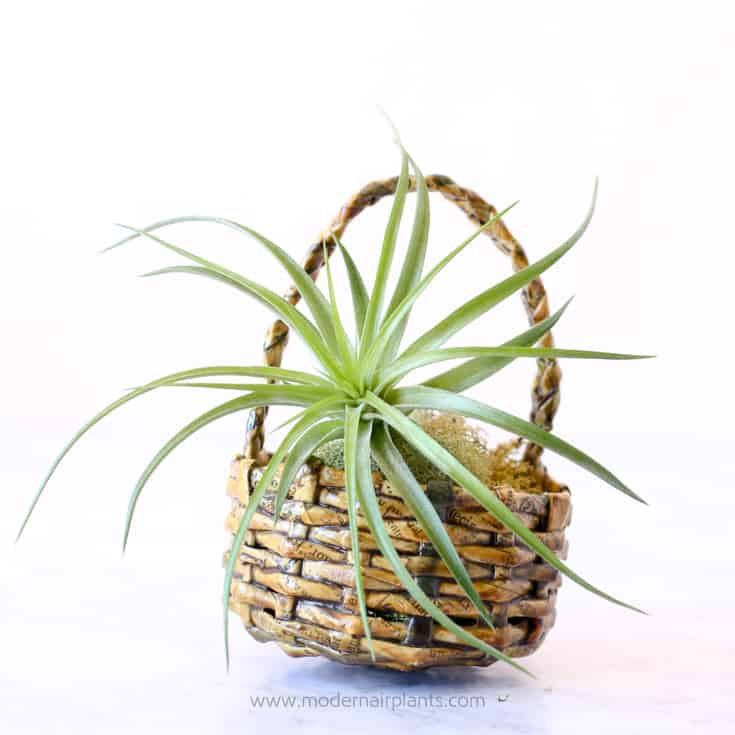Newspaper basket with air plant