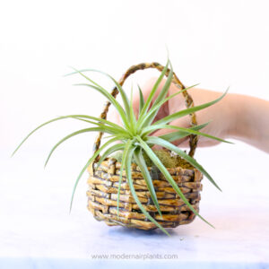 create a tactile experience with air plants