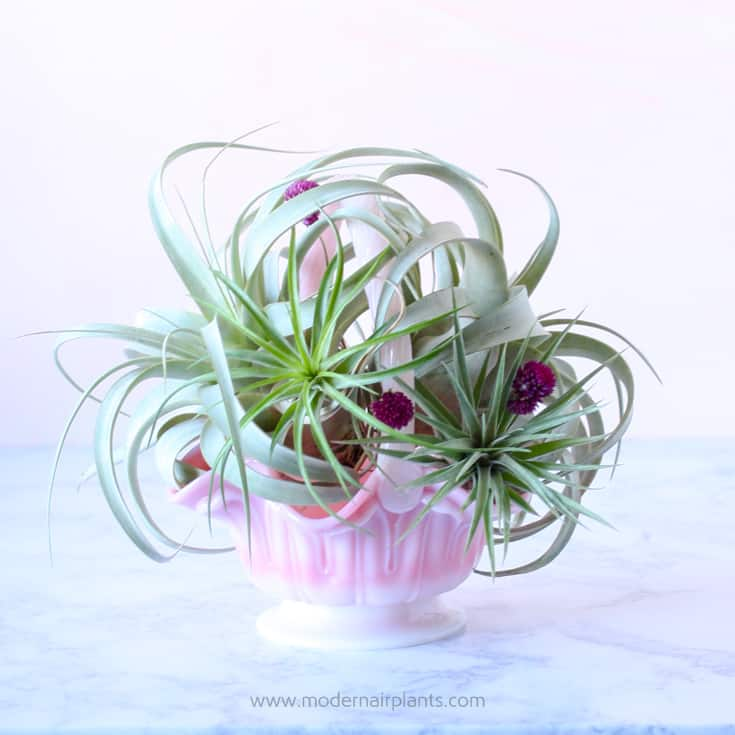 pink milkglass hold a variety of tillandsias