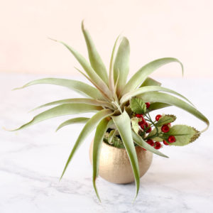 blushing peach capitata - gifting air plants
