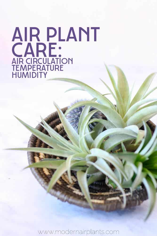 Discover how to provide your air plants with the BEST air quality