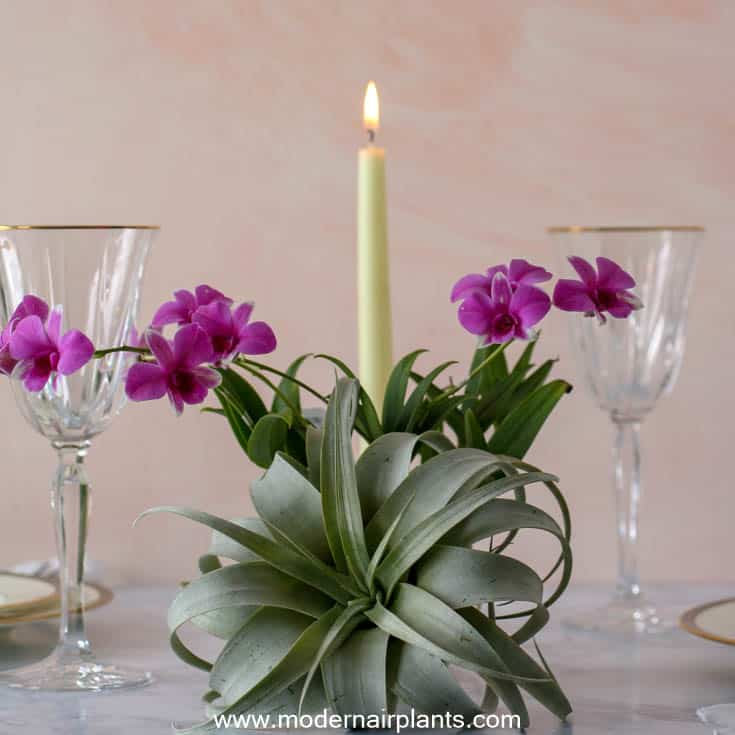 romantic table setting - air plants