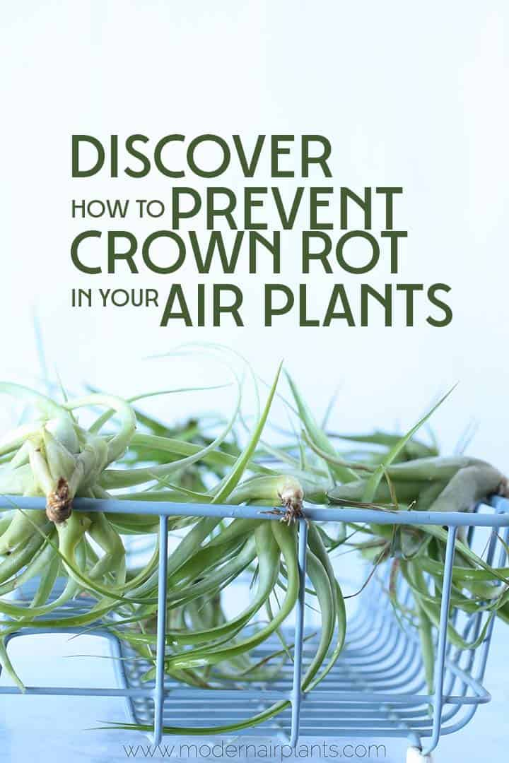 Discover how to dry your air plants