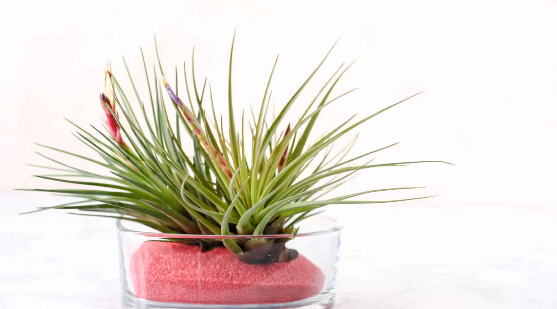 Valentine Gift - air plants