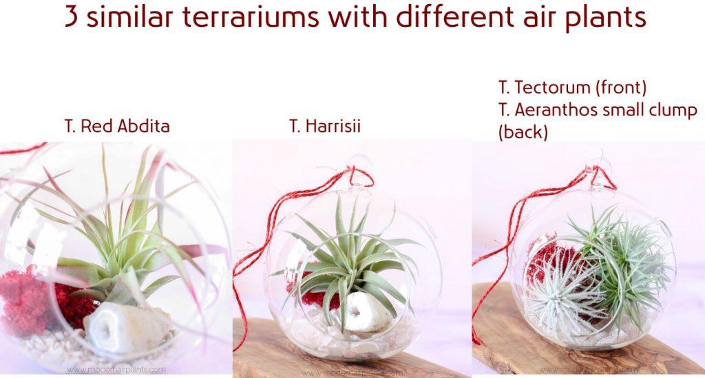 air plant terrarium - valentine gift
