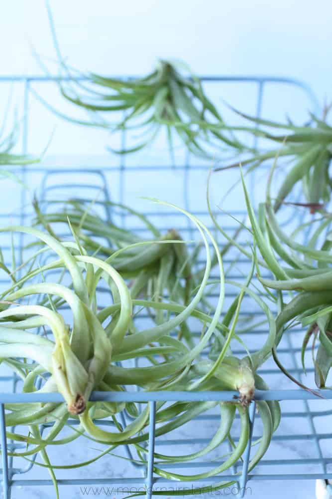 use a dish drainer to dry air plants