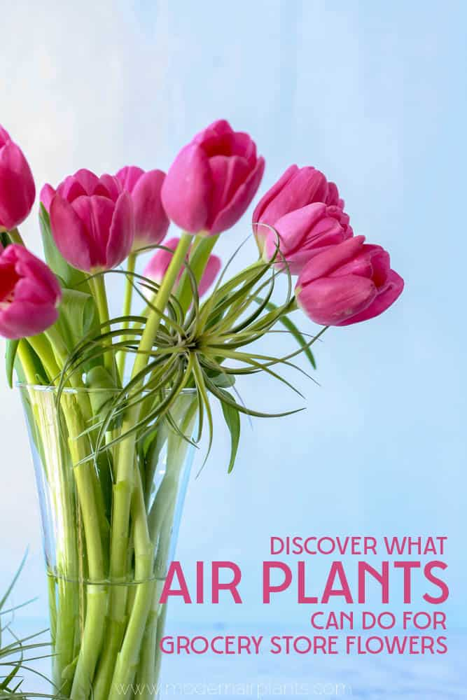 Transform everyday grocery store flowers into something extraordinary with air plants