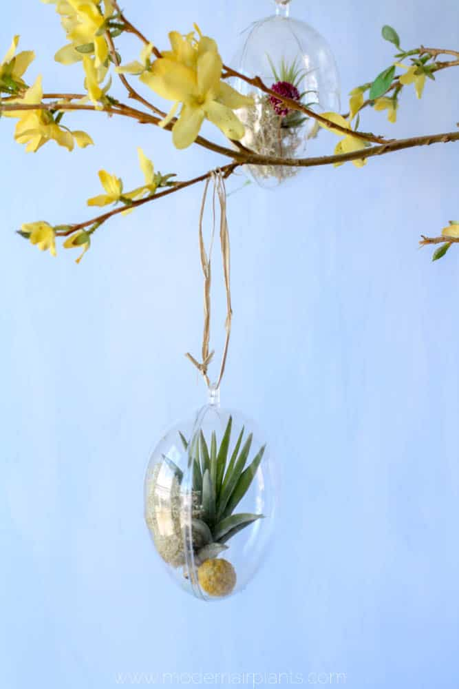 air plant mini terrariums