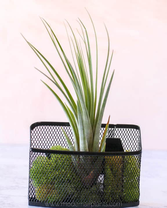 air plant vertical garden