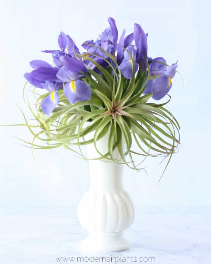 air plants and irises