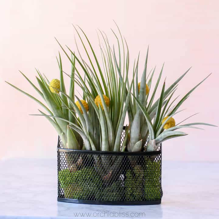 air plants - mini vertical garden