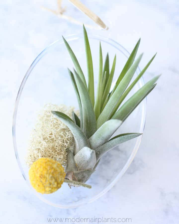 preserved moss - air plant egg terrarium