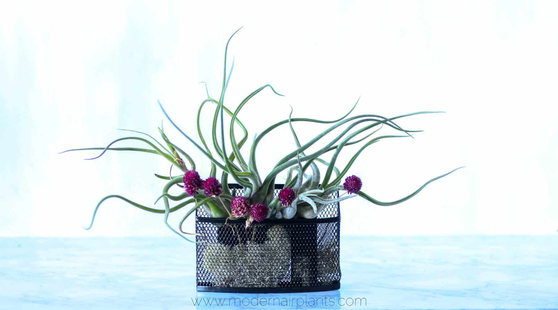 vertical garden - air plants