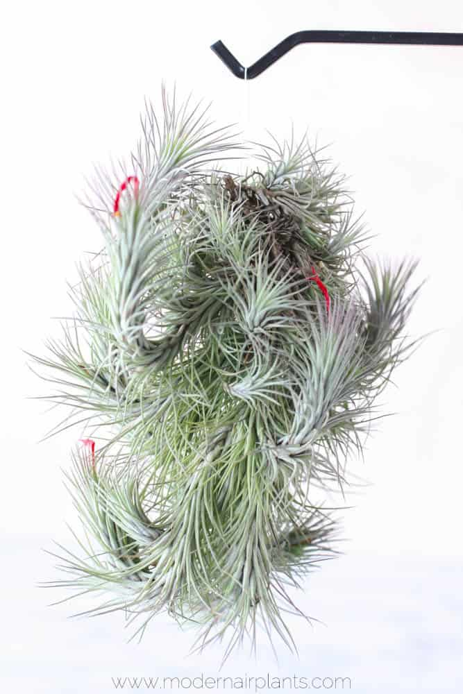 This month at Modern Air Plants, I am focusing on wonky air plants. By that I mean so really unusual, out-of-this-world looking air plants that can take us by surprise the first time we see them. This week's question will introduce us to the first of these wonky plants. Q. Which air plants do you recommend for creating an under-water themed terrarium?