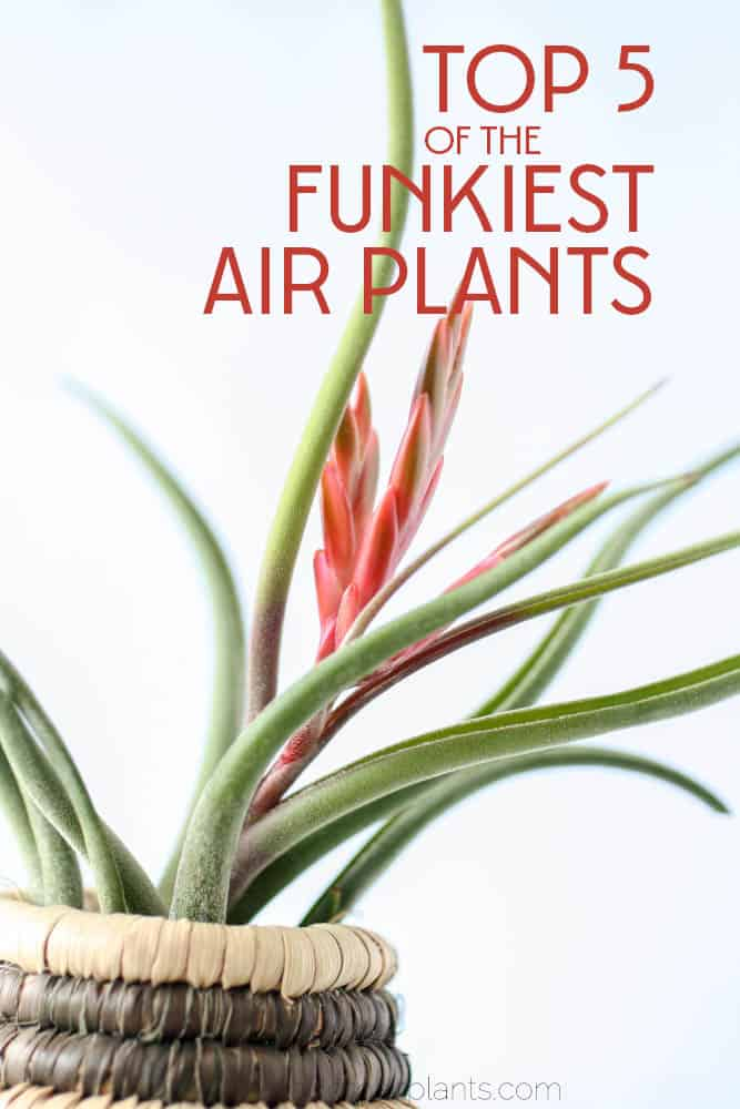 You'll love these funky crazy looking air plants