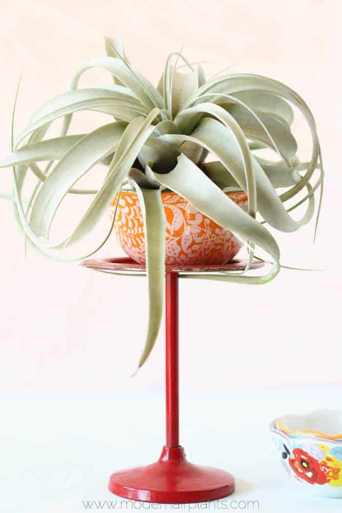 xerographica - funky air plant