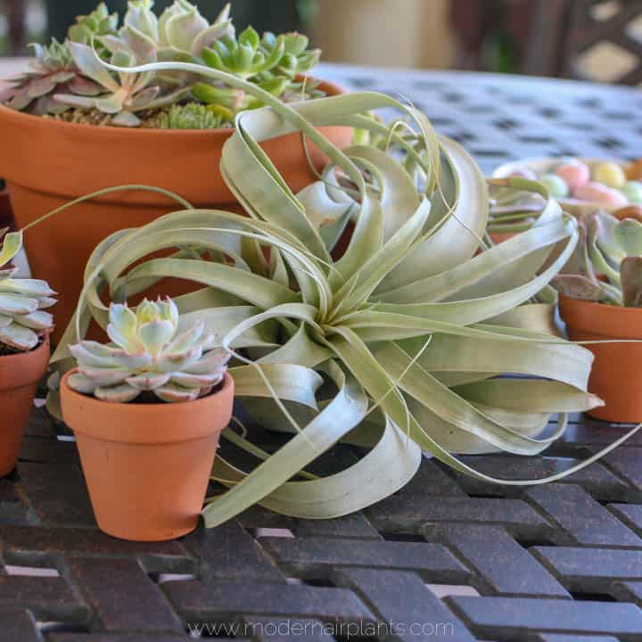 air plant centerpiece - reception