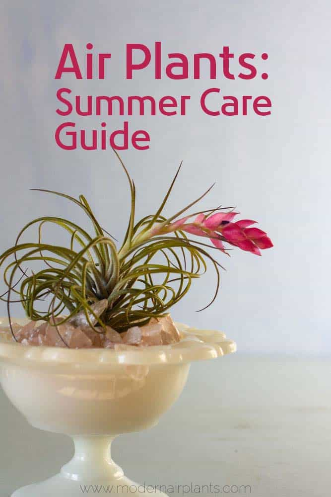 Air plants - summer care guide