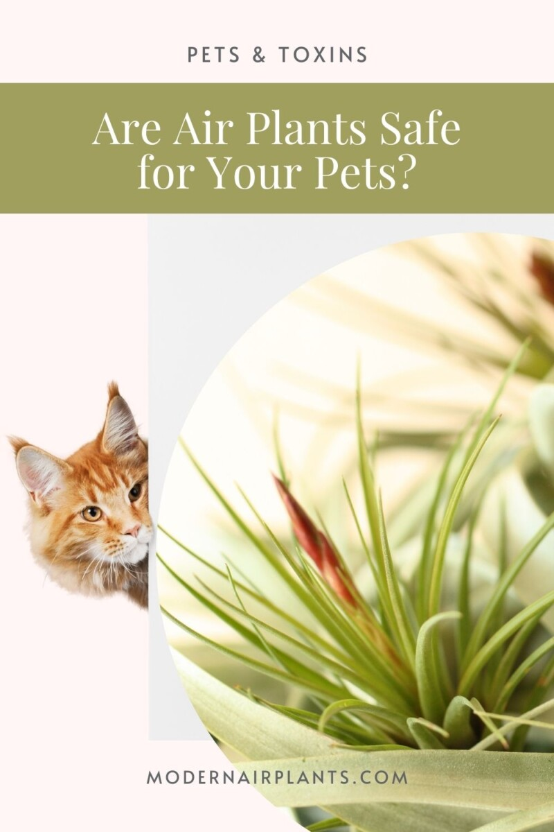 Are air plants toxic - pet safe - air plants