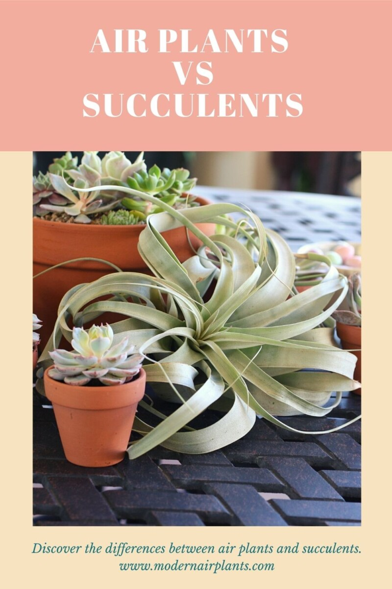air plants vs succulents