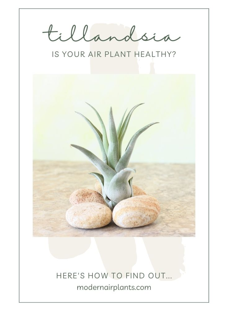 healthy air plant - fix root rot