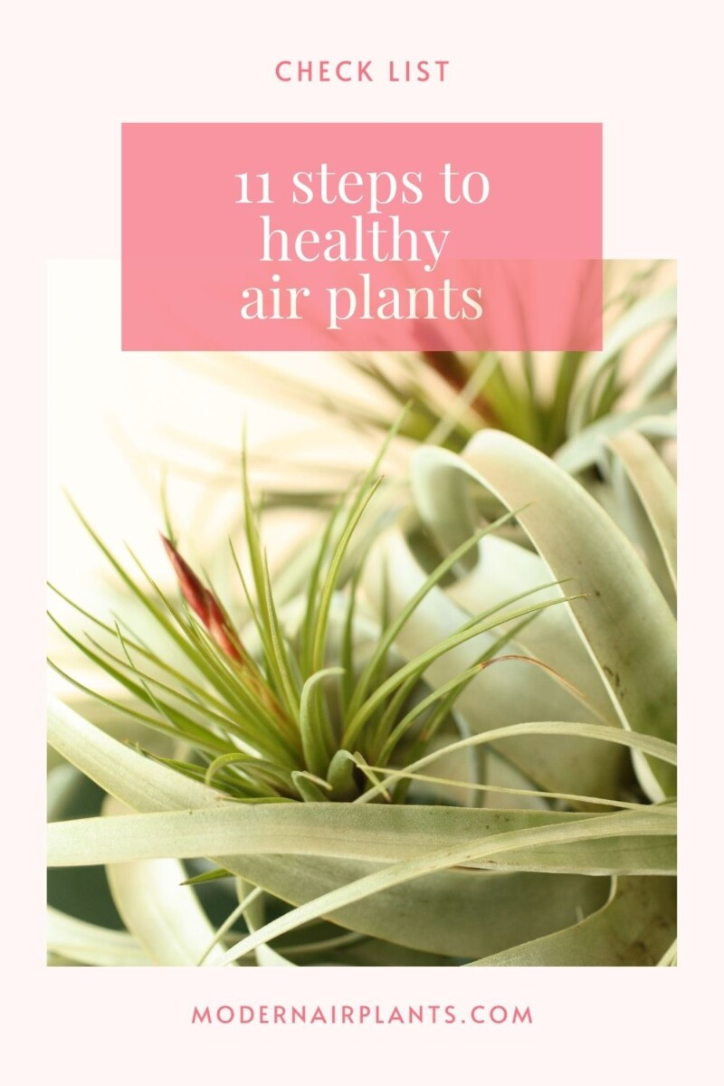 how to have healthy air plants