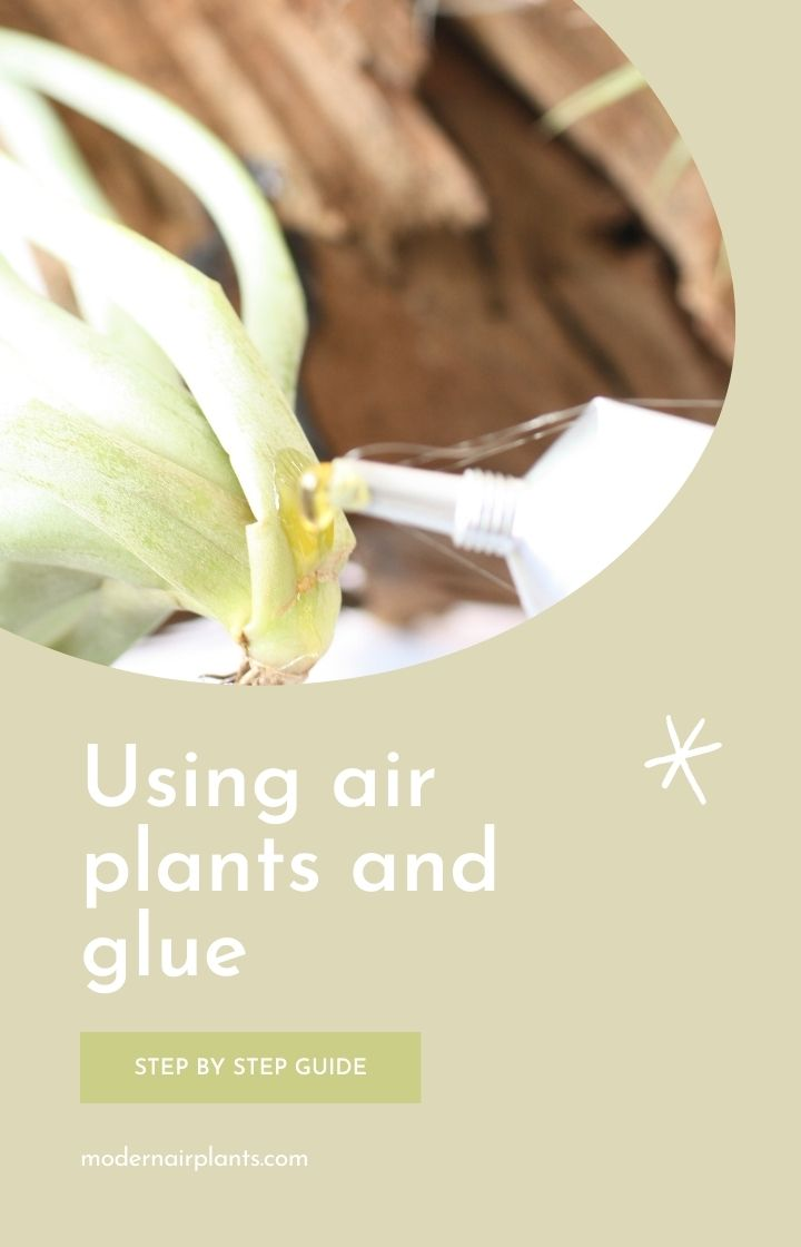 how to use glue with air plants - tillandsia
