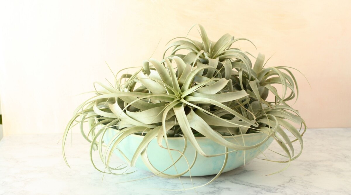 trimming air plants
