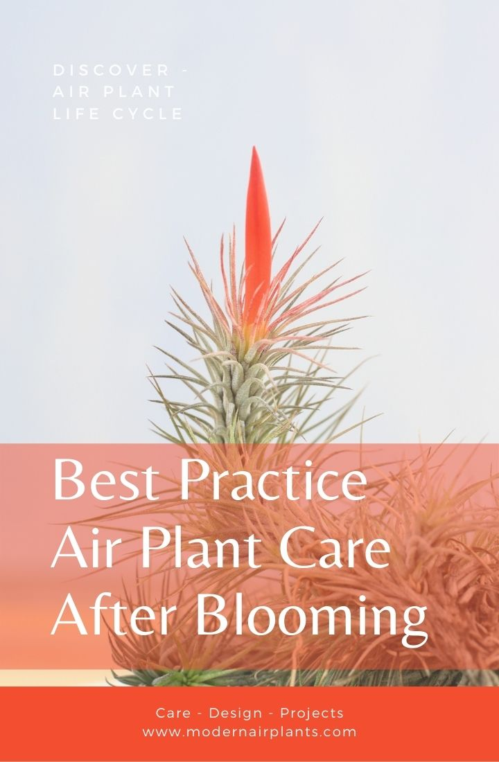 caring for air plants after blooming