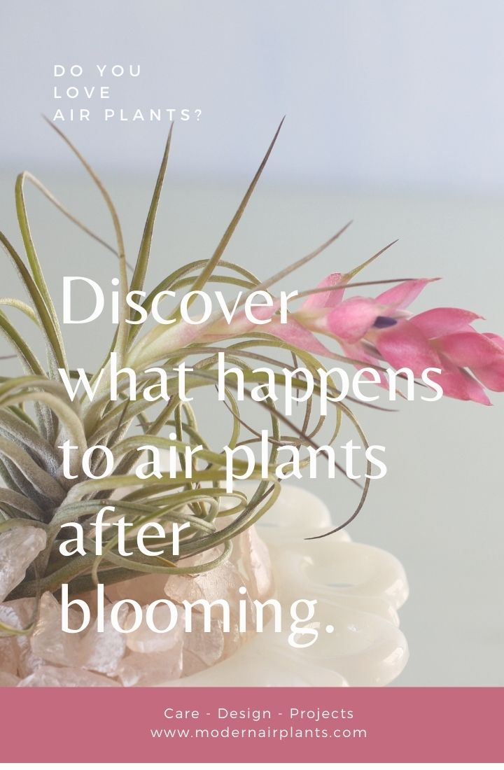 what happens to air plants after they bloom