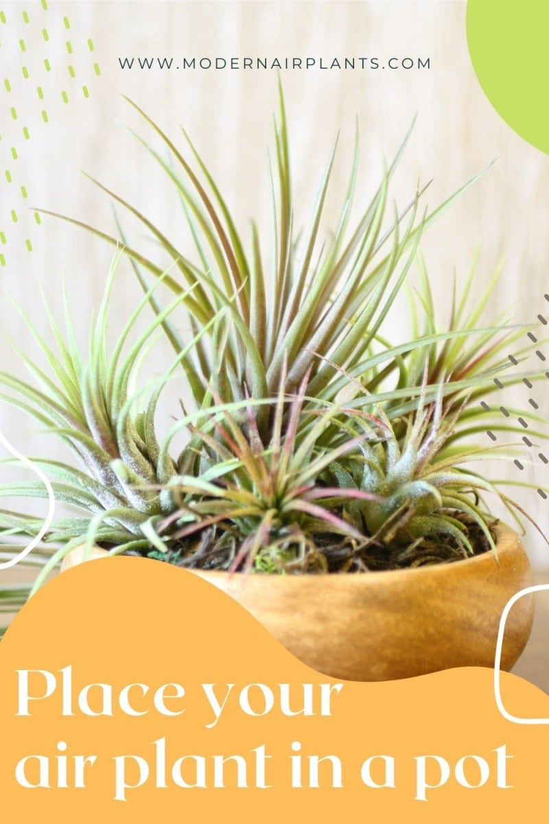 put your air plant in a pot